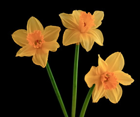 Three yellow flowering daffodils