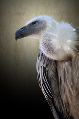 vulture degraded