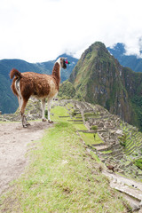 Llama at Lost City of Machu Picchu - Peru