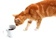 tabby tom cat and cup