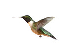 Isolated Ruby-throated Hummingbird - Fine Art prints