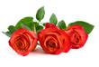 Drei rote Rosen auf weiß
