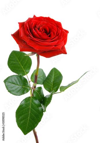 Fotobehang Rozen Die perfekte Rose