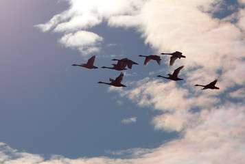 Tundra Swans in Flight