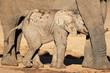 African elephant calf