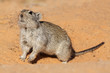 Whistling rat, Kalahari desert, South Africa