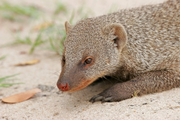 Banded mongoose (Mungos mungo), southern Africa