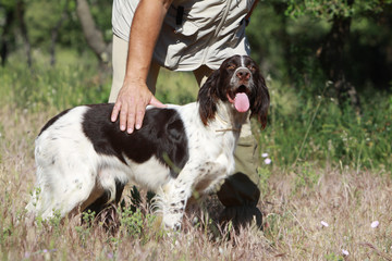 french spaniel learning to hunt