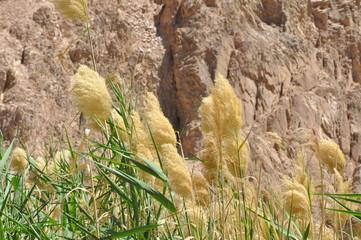 Blume/Getreide in Ägypten