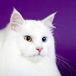 White cat on purple background