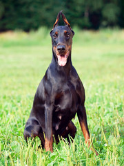 portrait of amazing black Doberman