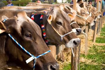 Kühe im Allgäu - Deutschland