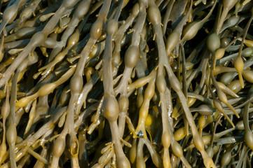 Egg Wrack Seaweed
