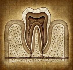Tooth Anatomy In Grunge Texture