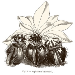Plante carnivore : Cephalotus follicularis