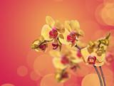 Orchidée jaune et reflets, fond orange