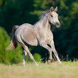 Arabian gray horse gallop in forest