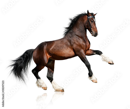 Bay horse isolated on white background - 38247523