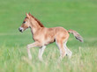 Chestnut foal running in field