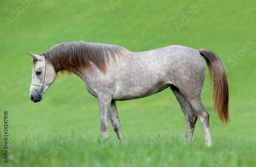 Arabian siwy koń w polu