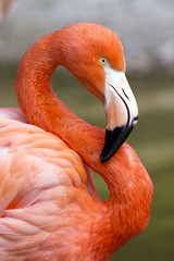 Flamingo in S