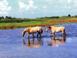 Henson horses in the marshes in bays of somme in france