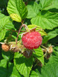 Raspberry on a twig