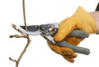 Secateurs pruning