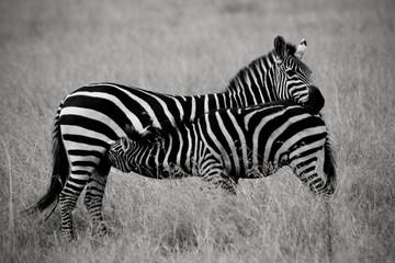 Suckling Zebra