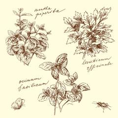 herbs - illustration