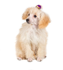 Apricot poodle puppy portrait on a white background