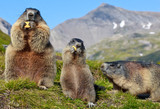 Fototapety Alpine Marmot (Marmota marmota)