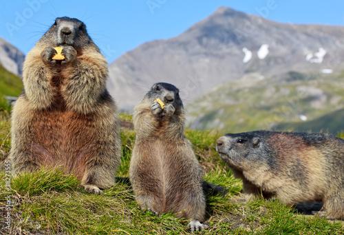 Plexiglas Eekhoorn Alpine Marmot (Marmota marmota)