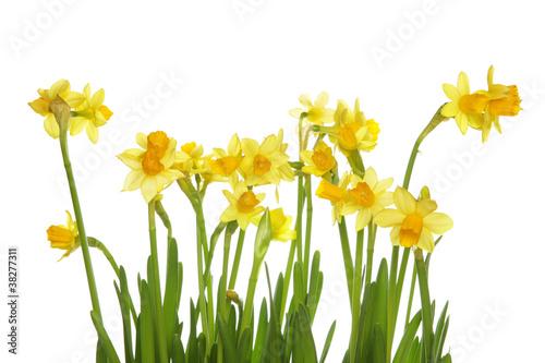 Foto op Plexiglas Narcis Yellow daffodils