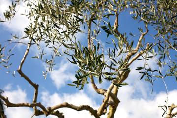 Olive tree leafs on a blue sky