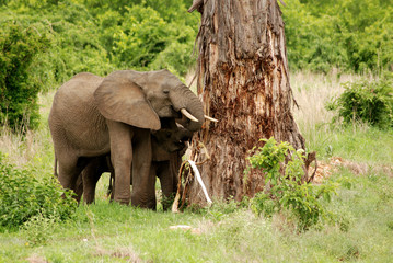 Elephant, Tsavo East National Park