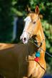 red golden horse akhal-teke portrait in summer