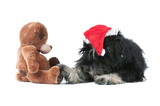 miniature schnauzer and bear isolated on white