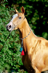 red golden horse akhal-teke portrait in summer