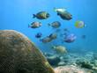 School of Surgeonfish