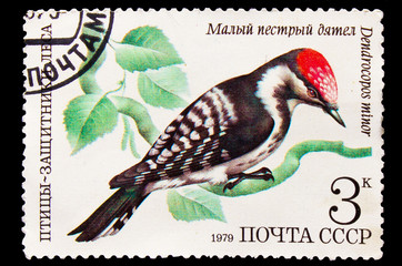 USSR - CIRCA 1979: A stamp printed in USSR shows a Dendrocopos m