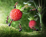 team of ants picking wild strawberry, agriculture teamwork