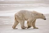 Polar Bear Strolling on the Ice
