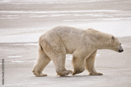 Fotobehang Ijsbeer Polar Bear Strolling on the Ice