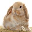 Sweet rabbit with floppy ears