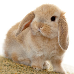 Cute little bunny with floppy ears