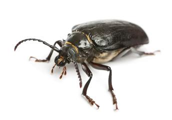 Tanner or sawyer, a species of longhorn beetle,Prionus coriarius