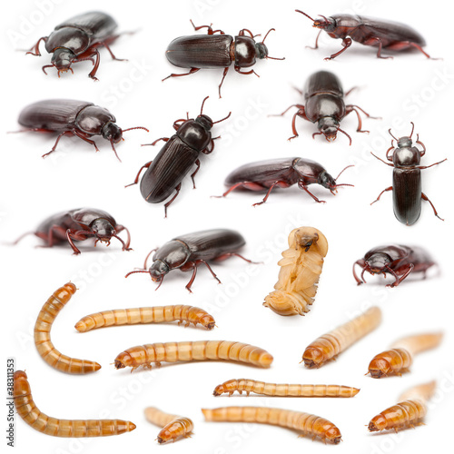 Lifecycle of a Mealworm composition, Tenebrio molitor