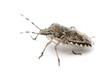 European stink bug, Rhaphigaster nebulosa