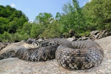European grass snake (Natrix natrix) in its natural habitat